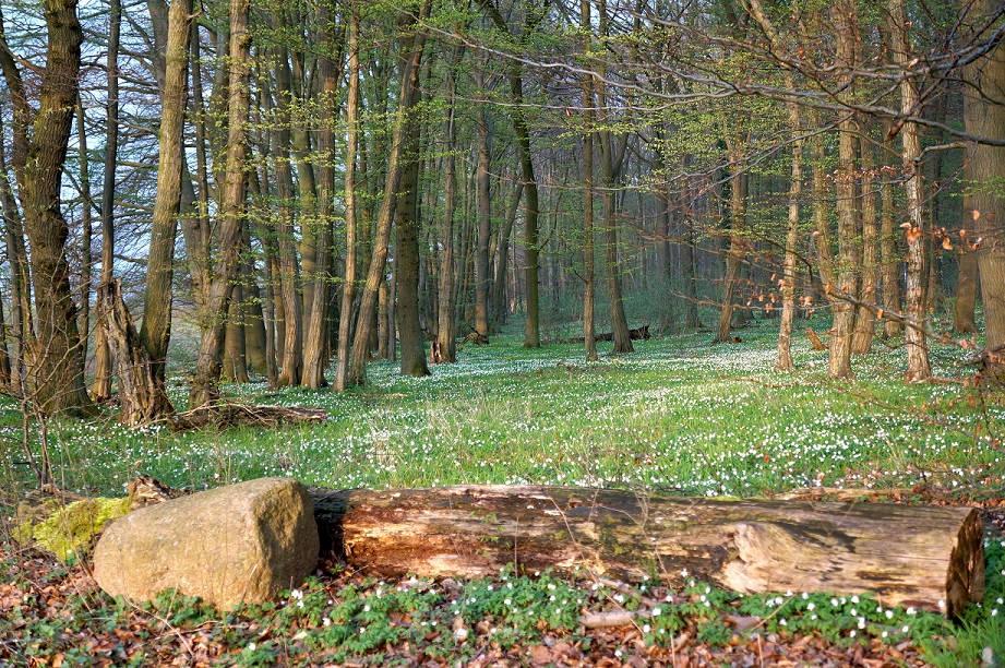 Buchenwälder im Frühling